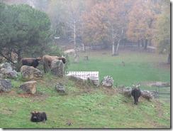 aurochs