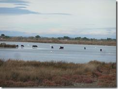 bulls and flamingos