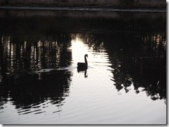 lagoon swan 73