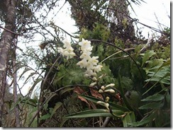 nz orchid