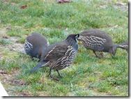 quail 1