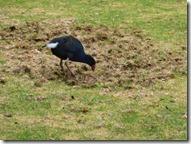 bird plough 2