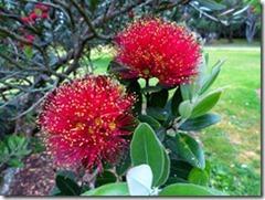 flower pohutukawa_thumb