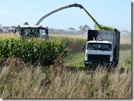 maize silage 3
