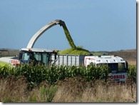 maize silage 4