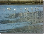 royal spoonbill 2
