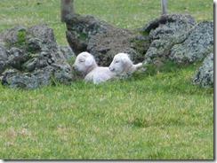 5 white lambs