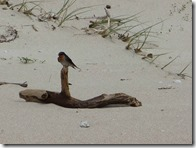 21swallow